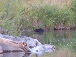 Beaver on the bank