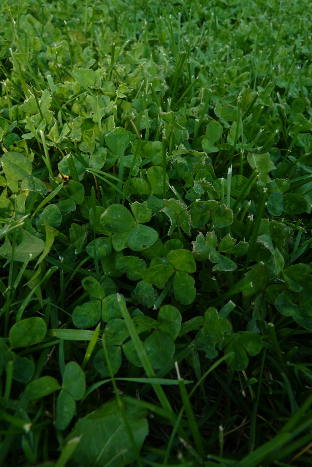soft field of clover