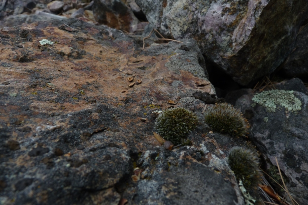 Three small fuzzy little clumps of rock moss